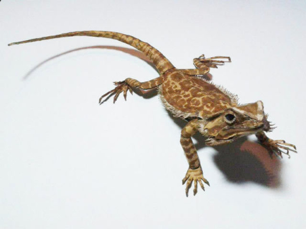 bearded-dragon24
