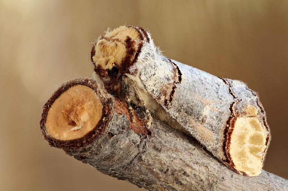 Buff-Tip-Moth