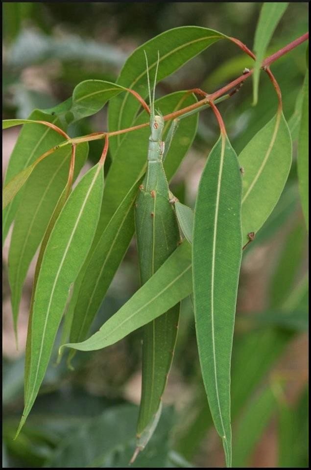 Childrens-Stick-Insect