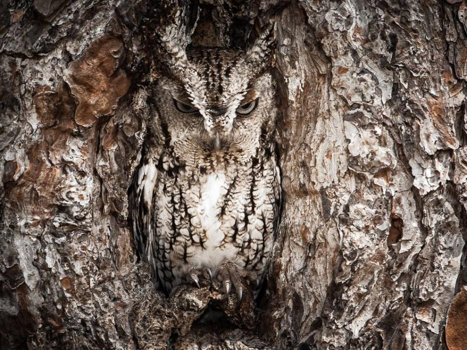 Eastern-Screech-Owl