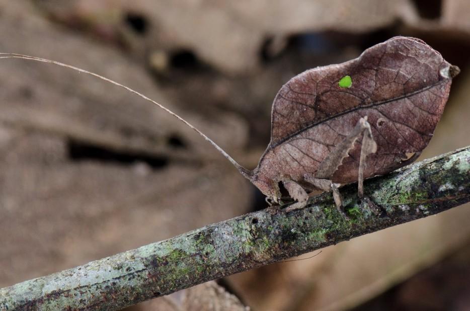 Leaf-Bug-2