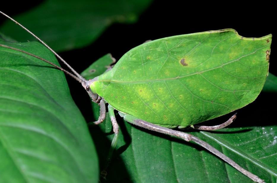 Leaf-Bugs
