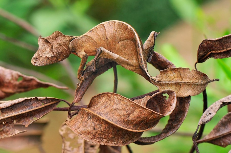 Leaf-Tailed-Gecko