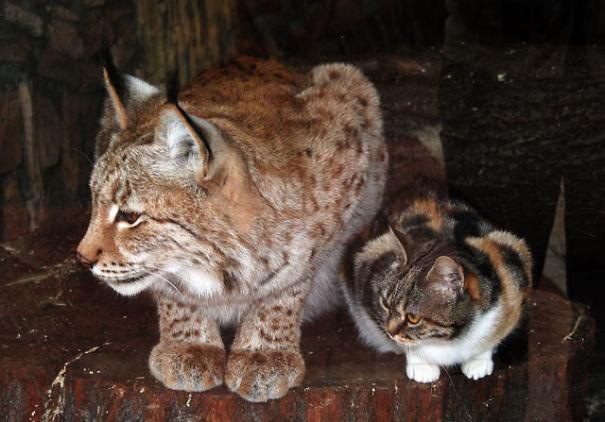 cat-lynx-bff-01