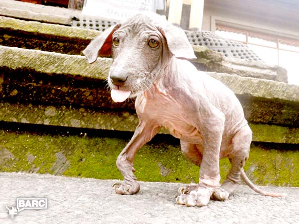 BARC_Bali_Dog_Frankie_0