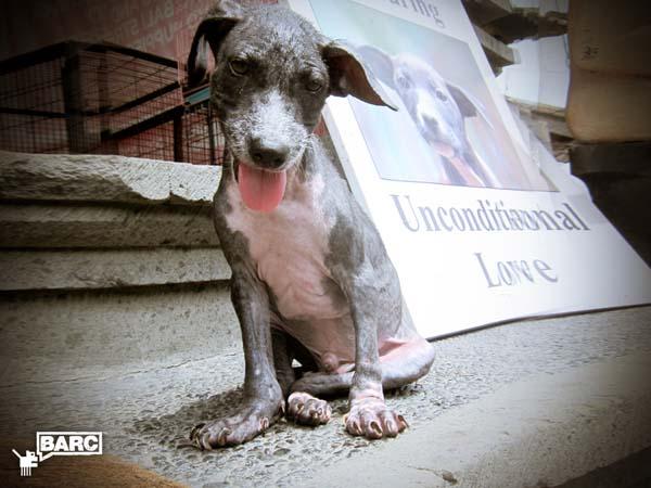 BARC_Bali_Dog_Frankie_2