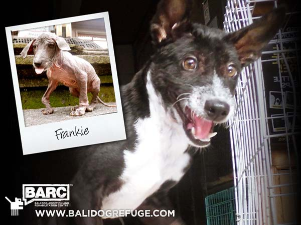 BARC_Bali_Dog_Frankie_Before-and-After