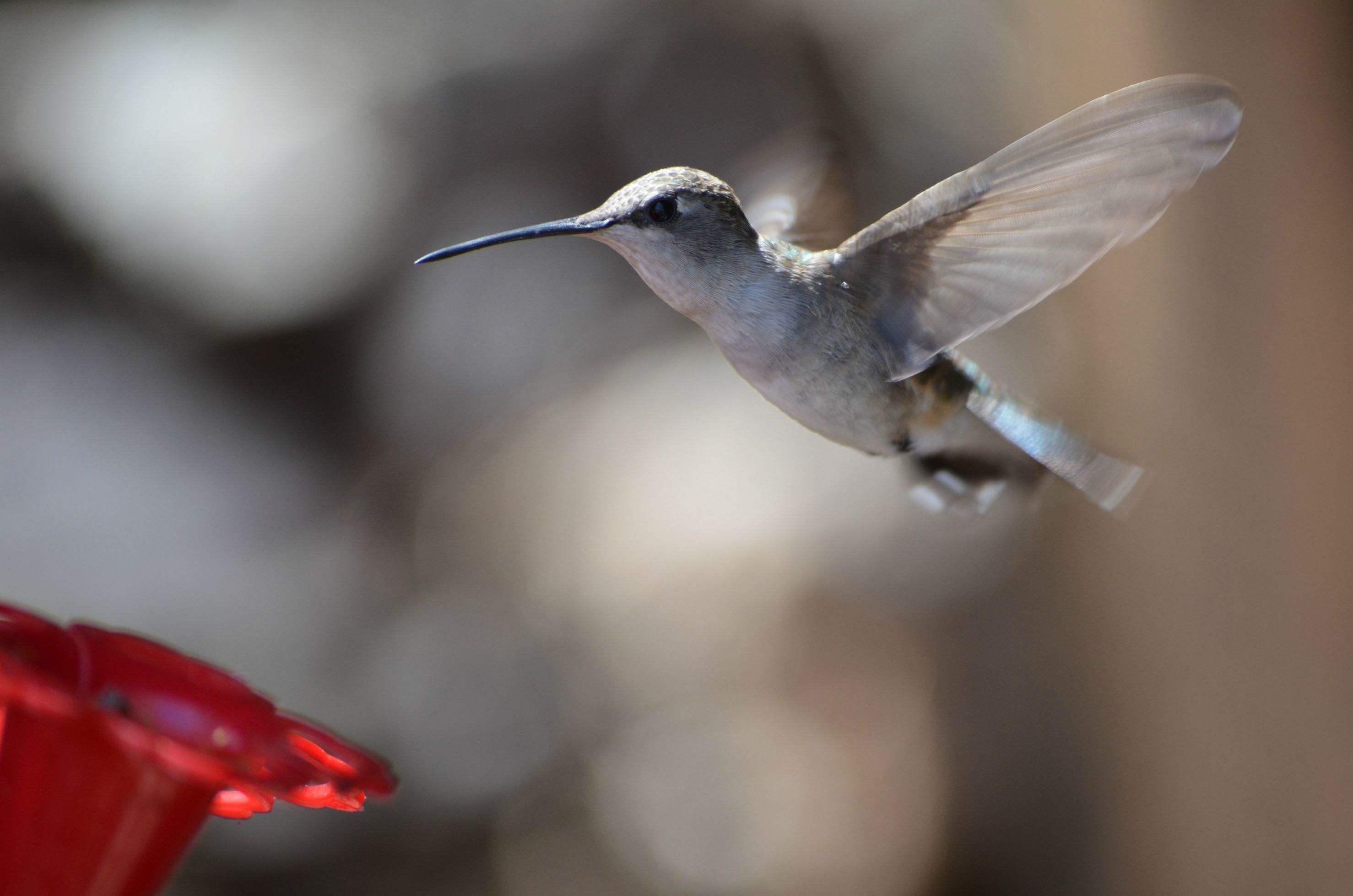 Humming-Bird-9
