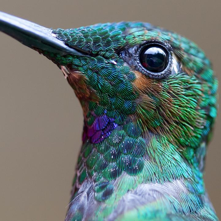 Humming-bird-1