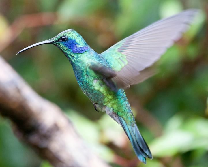 Humming-bird-2