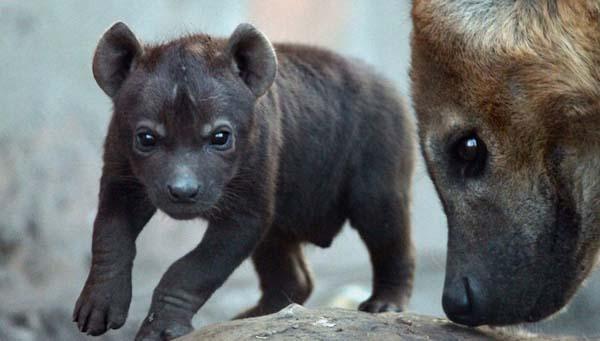 hyena-birth4