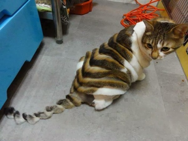 16189-weird_haircut_cat_05_09_2012-600x449