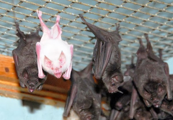 Amazing-pictures-animals-Photos-Zoo-pics-nature-beautiful-rare-albino-animals-white-melanina-bat