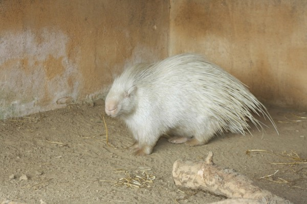 Amazing-pictures-animals-Photos-Zoo-pics-nature-beautiful-rare-albino-animals-white-melanina-porkupine-600x399