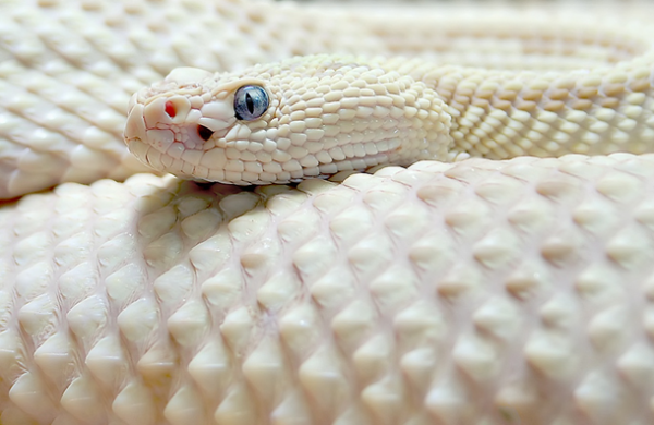 Amazing-pictures-animals-Photos-Zoo-pics-nature-beautiful-rare-albino-animals-white-melanina22-600x390