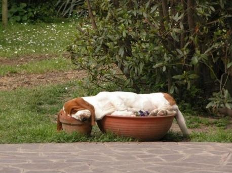 Basset-Hound-sleeping-in-flower-pots.-Part-dog-part-gravy.