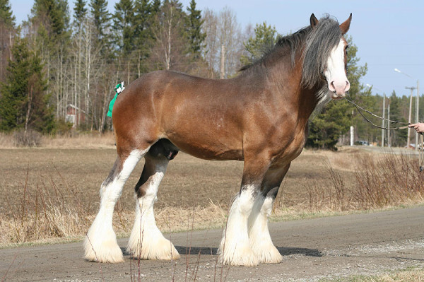 clydesdale-horses-2-600x399