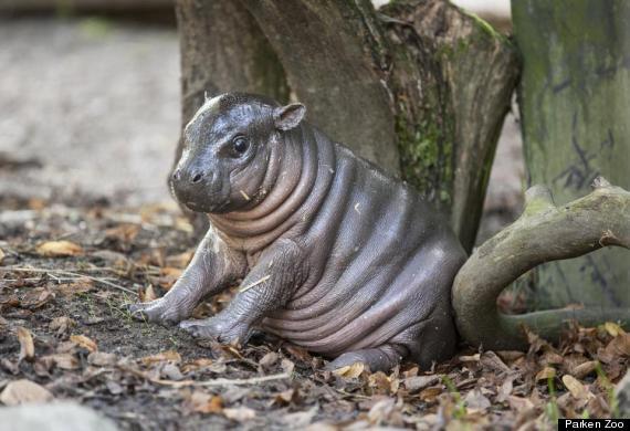 o-PYGMY-HIPPO-570