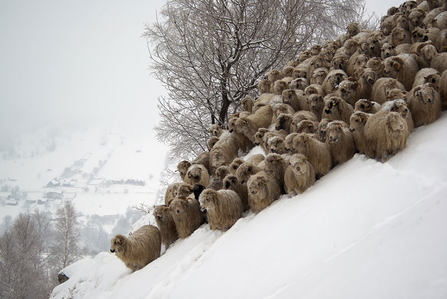sheep-herds-around-the-world-211