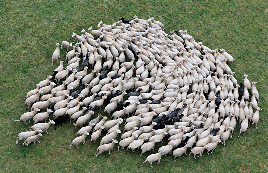sheep-herds-around-the-world-251