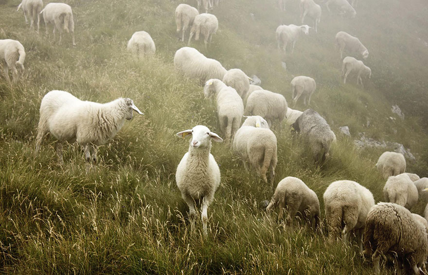 sheep-herds-around-the-world-521