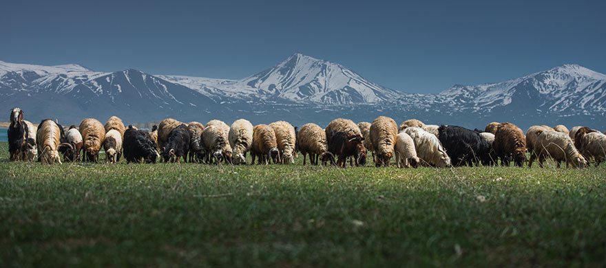 sheep-herds-around-the-world-561