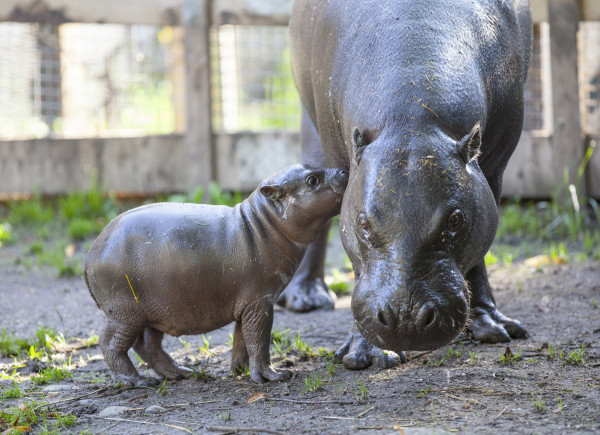 Olivia The Pygmy Hippo